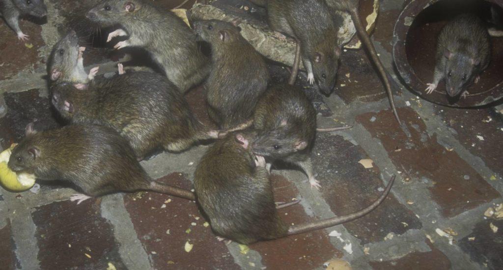 уничтожение крыс в Белокурихе